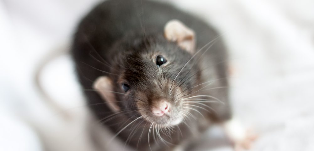New Mice Model Mimics Features of Human XLAS